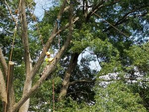 Crew tied off for safety during removal of large tree