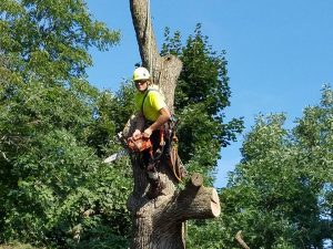 Tree crew tied off for safety in tall tree during removal