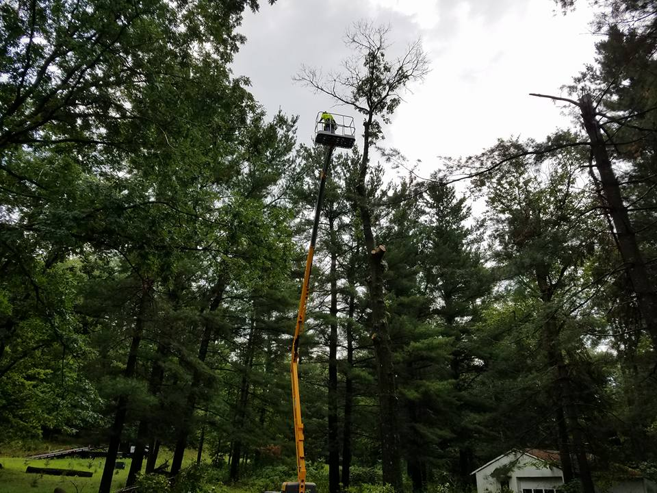 Tree crew in bucket removing decaying tree