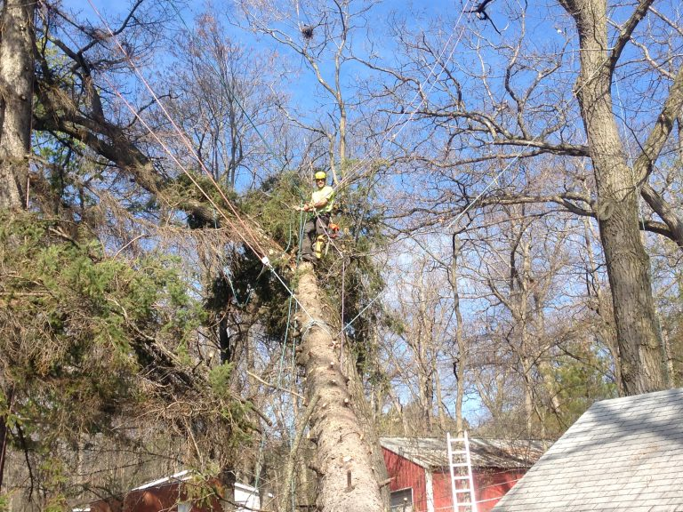 Tree removal with extensive safety roping
